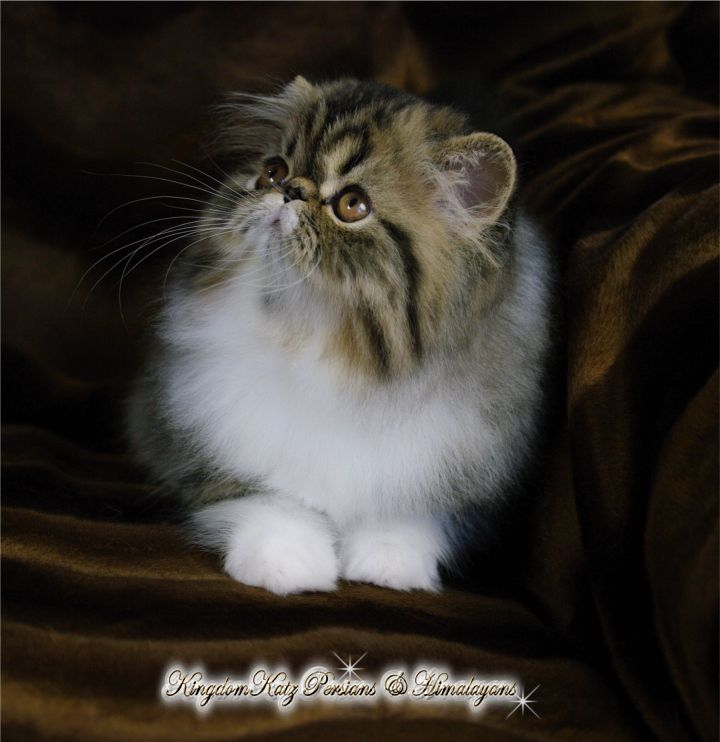 Persian Kittens for Sale, Himalayan Kittens for Sale