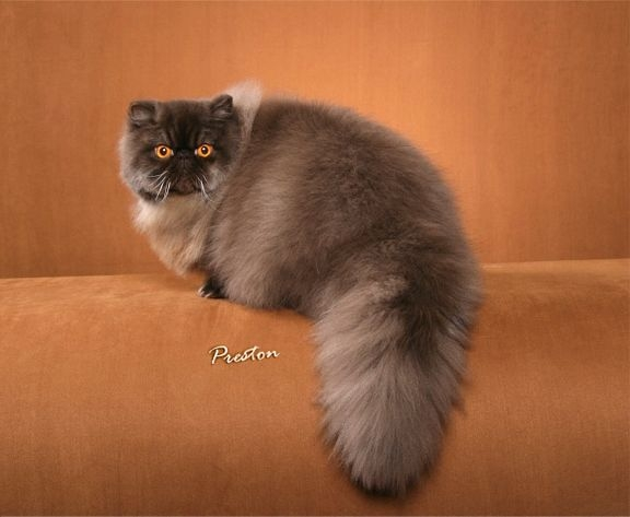 Persian cats for sale chicago il