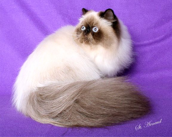 Himalayan cat breeders michigan